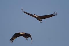 Pair of Sandhill Cranes in Flight Stock Image