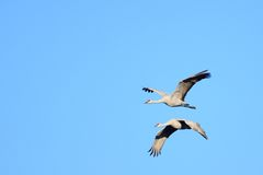 A Pair of Sandhill Cranes in Flight Royalty Free Stock Images