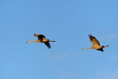 A Pair of Sandhill Cranes Flying Stock Image