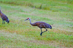 Pair of sandhill cranes Royalty Free Stock Photography