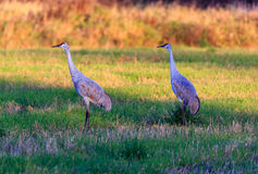 Pair of Sandhills in a Field. Pair of Sandhill Cranes in a field Stock Photography