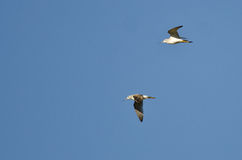 Pair of Sandpipers Flying in a Blue Sky Stock Image