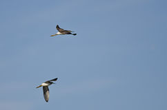 Pair of Sandpipers Flying in a Blue Sky Royalty Free Stock Photos