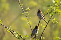 Pair of scaly breasted munia sitting on branch Stock Photos