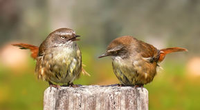 Pair of Scrub Wrens. A pair of Scrub wrens singing in the early morning sunlight Stock Image