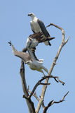 Pair of sea eagles on a tree. Couple of sea eagles perching on a tree stock photos