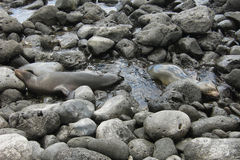 Pair of Sea Lion resting on rocks. Pair of Sea Lion resting on the rocks in Lobos island, Galapagos, Ecuador Stock Image