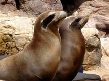 Pair of sea lions. Enjoying the sun Royalty Free Stock Photo