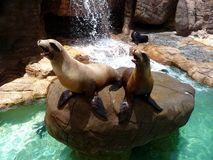 Pair of sea lions. A pair of sea lions calling out for food Stock Photo