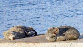 Pair of sea lions on the rocks of Kingscote, Kangaroo Island, Southern Australia. One sleeps and the other growls. royalty free stock photo