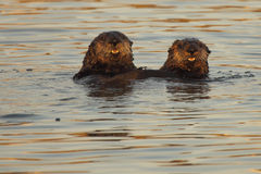 Pair Of Sea Otters. A pair of Sea Otters popping up from the Pacific Ocean for a look stock photos