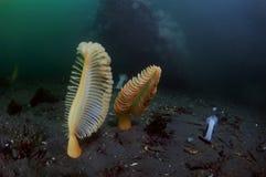 Sea Pens Stock Photography