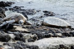 A pair of sea turtles sunning on a rocky shoreline. A pair of endangered sea turtles sunning on a rocky tropical shoreline stock photo