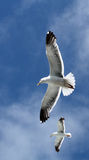 Pair of seagulls stock photography