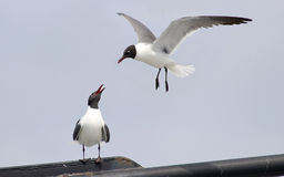 Pair of Seagulls. A pair of laughing gulls, one in flight and one perching, both looking at each other Royalty Free Stock Photo