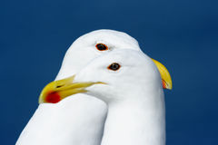 Pair of seagulls Stock Image