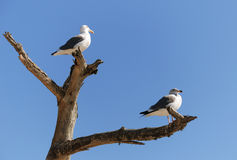 Pair of seagulls Stock Images