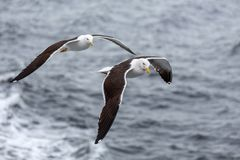 Pair of seagulls flies against the sea in nasty weather. White Sea, Russia royalty free stock photography