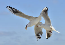 Pair of seagulls in flight fighting for food. Against sky background royalty free stock image
