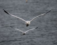 PAIR OF SEAGULLS IN FLIGHT stock photography