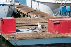 Pair of seagulls larus californicus on a floating dock with fishing boats in the background.  Stock Image