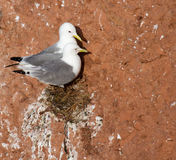 A pair of seagulls nesting Stock Photo