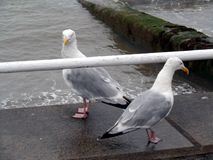 Pair of Seagulls Portrait Stock Images