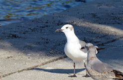 Pair of seagulls on a seawall Royalty Free Stock Photos