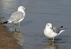 Pair of Seagulls standing in calm waters along shore line of lake Royalty Free Stock Images
