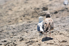 Pair of Seagulls Standing in the Sand Royalty Free Stock Image