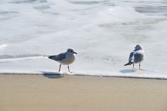 Pair of seagulls vacation at the beach Stock Images
