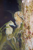Pair of Seahorses in Aquarium Stock Photos