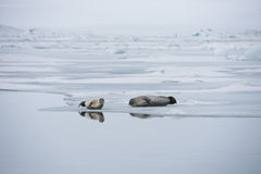 A pair of seals. At Lagoon, Jokulsarlon, Iceland royalty free stock photos