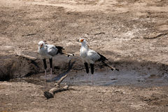 Pair of Secretary Birds Stock Photo