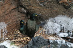 Pair of Shag (Phalacrocorax aristotelis) at their nest. This is a pair of the sea-birds called shags at their nest, which is situated on a sea-cliff in the Stock Photography