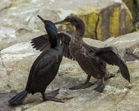 A Pair of Shags. Youngster and adult. A pair of Shags.Youngster and Adult. Seabird at the Farne Islands. Northumberland. England Stock Photo
