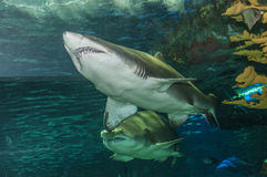A pair of shark. Pair of mean looking shark swimming Royalty Free Stock Photography