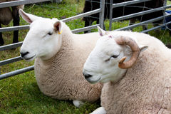Pair of sheep at agricultural show. Ewe and ram royalty free stock photography