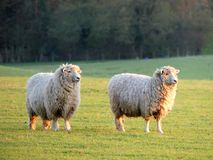 Pair of sheep in field at Bullsland Farm, Chorleywood stock photography