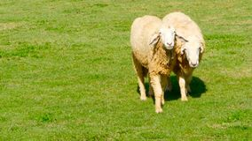 Pair of sheeps walk on a sunny green juicy meadow. Two sheep friends are walking on the grass in a fine day. White wool in the rays of sun illuminating pasture stock video