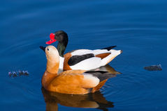 A pair of shelducks Stock Photography