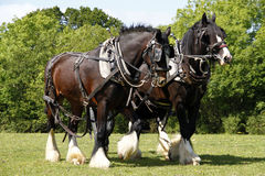 Pair of Shire Horses Working. Pair of Shire horses tacked up in the traditional working harness Stock Image