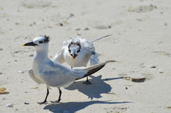 Pair of Shorebirds Battling on a Florida Beach. Pair of birds on a sandy beach fighting in the sand Royalty Free Stock Photo