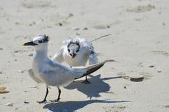 Pair of Shorebirds Battling on a Florida Beach Royalty Free Stock Photo
