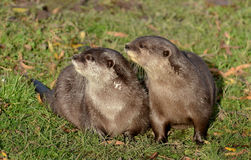 Pair of Short-clawed Otters Royalty Free Stock Photography