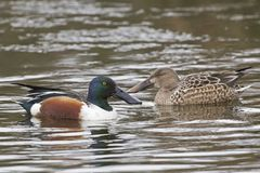 A male and female shoveler duck. A pair of shoveler ducks on the Cemetery Lake  Southampton Common, Hampshire, UK Stock Images
