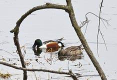 Pair of shoveler ducks feeding Royalty Free Stock Image