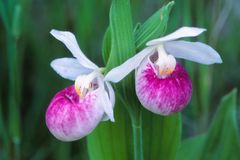A pair of Showy Lady`s Slippers. Pair of Showy Lady`s Slippers Cypripedium reginaein full bloom display their colors. As the state flower in Minnesota they are royalty free stock photo