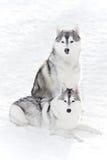 Pair of siberian husky dog at winter Royalty Free Stock Photos