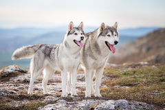 Pair of Siberian husky stock image